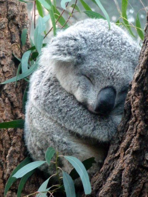 Cute baby koala - photo#11